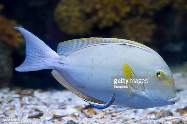 surgeonfish - lifeispixels stock pictures, royalty-free photos & images