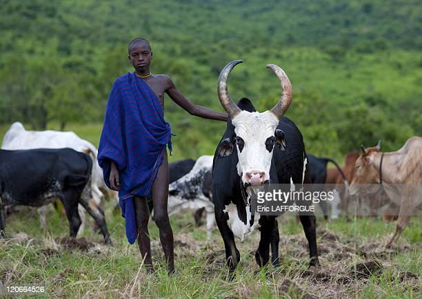 Suri herdsman with one of his cows in Turgit village, Omo valley, Ethiopia on July 05, 2010 - Blood Meal Like in Rendille or Massais tribes Surmas...