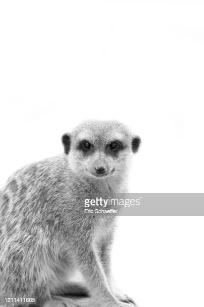 suricat - vincennes stockfoto's en -beelden