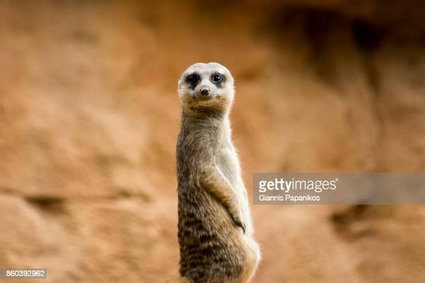 suricata - meerkat stock pictures, royalty-free photos & images