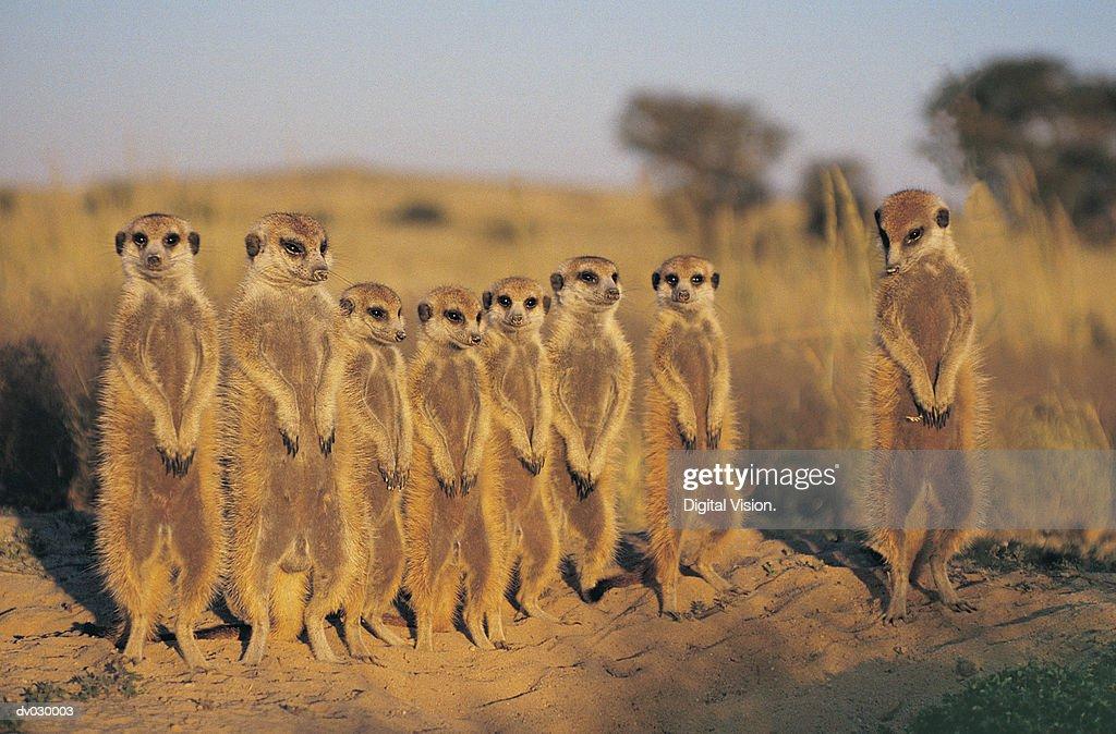 Suricate (Suricate Suricatta) Kalahari Desert, Botswana : Stock Photo