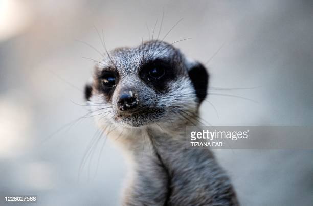 Suricate looks on from its enclosure at the Bioparco zoo during a heatwave in Rome, on August 13, 2020.