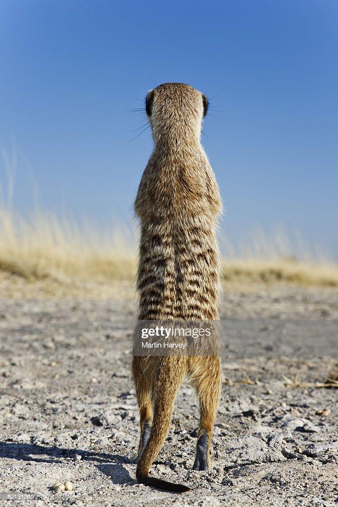 Suricate / Meerkat (Suricata suricatta).  : Stock Photo