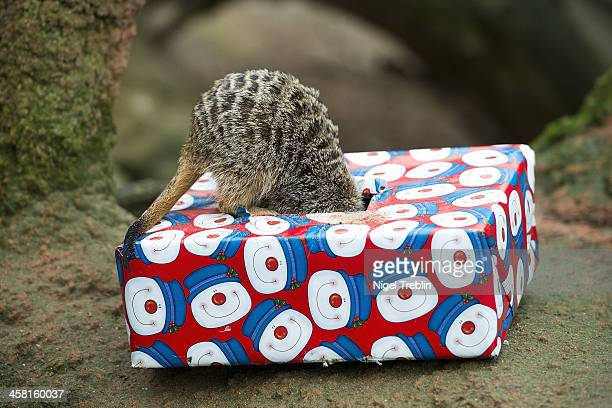 Suricate play with a christmas present at Hanover Zoo on December 20 2013 in Hanover Germany Keepers at the zoo gave the some of the animals...