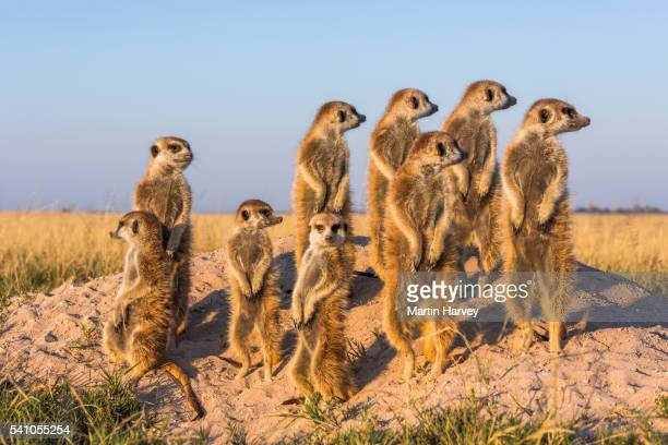 suricate/meerkat family group warming up in the early morning sun .botswana. - ミーアキャット ストックフォトと画像