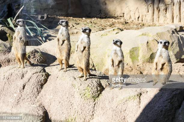 Suricates at Le Cornelle wildlife park that opens its doors again to visitors, in Valbrembo, Bergamo, Italy on May 25, 2020. Visitors are admitted at...