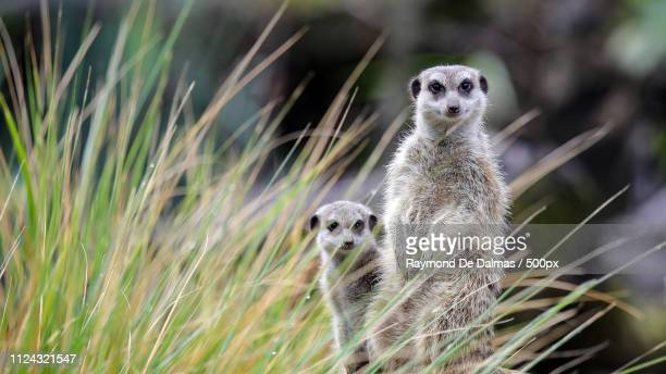 suricati - east africa stock photos and pictures