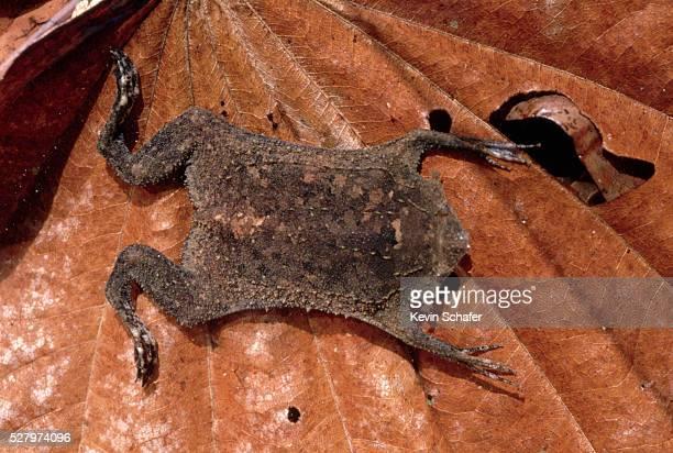 surinam toad on leaf - sapo do suriname imagens e fotografias de stock