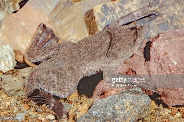 surinam toad - sapo do suriname imagens e fotografias de stock