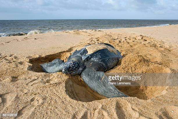 suriname, leatherback turtle burying eggs.  - leatherback turtle stock pictures, royalty-free photos & images