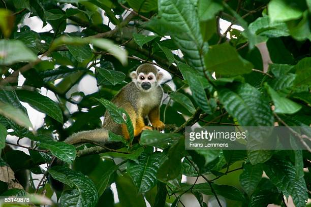 Suriname, Squirrel monkey.