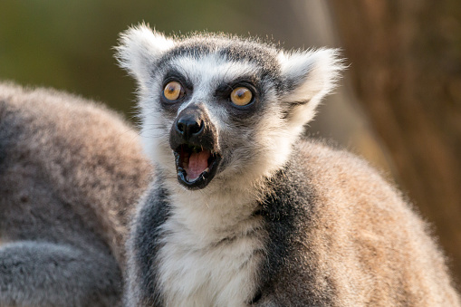 Surprised ring-tailed lemur with open mouth and eyes wide open 1022874582