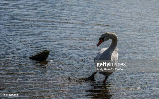 surprised swan - andy rinkoff stock pictures, royalty-free photos & images