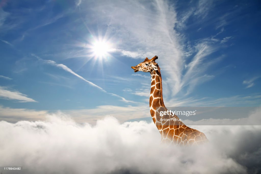 Surreal scene with huge giraffe through the clouds. Aerial view, abstract conceptual image. : Stock Photo