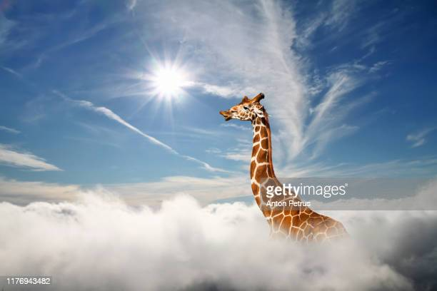 surreal scene with huge giraffe through the clouds. aerial view, abstract conceptual image. - white giraffe stockfoto's en -beelden