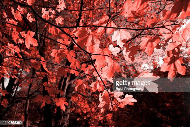 surreal tree leaves in autumn (image manipulated with pantone living coral color of the year 2019) - 2010 2019 stock pictures, royalty-free photos & images