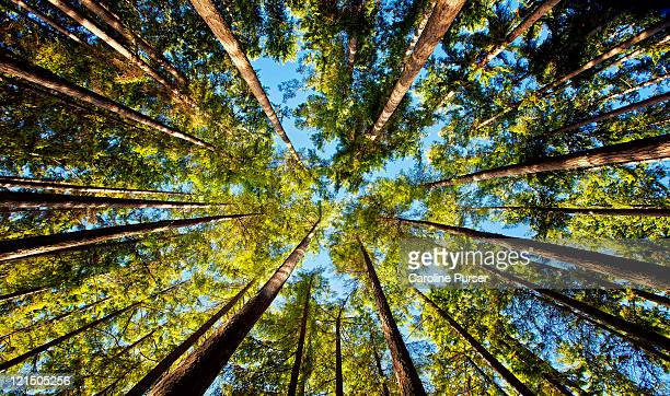 surrounded by a forest of trees, low angle - kitsap county washington state stock pictures, royalty-free photos & images