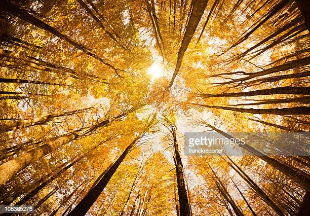 surrounded by tall trees, low angle shot - autumn season - maple tree stock pictures, royalty-free photos & images