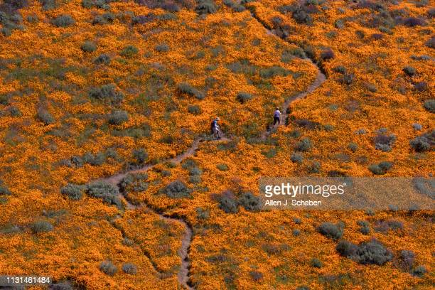 Surrounded by the Super Bloom a visitor takes in the scenery while taking photos in the middle of the Lake Elsinore Poppy Fields in Walker Canyon...