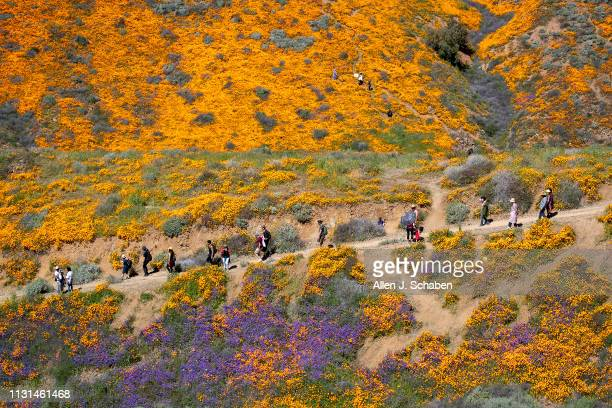 Surrounded by the wildflower super bloom large crowds hike amid the poppies while taking in the rare scenery of the Lake Elsinore Poppy Fields in...