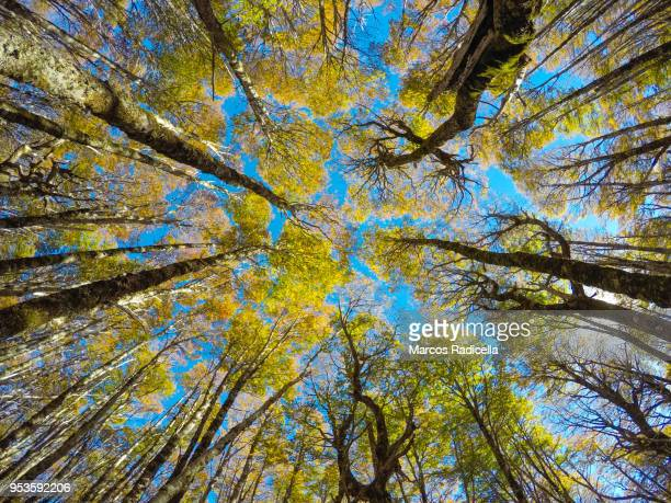 surrounded by trees in a patagonic forest - radicella stock pictures, royalty-free photos & images