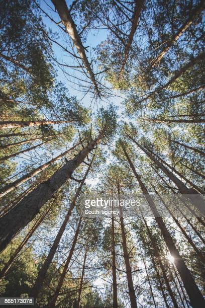 surrounded by trees - pine woodland stock pictures, royalty-free photos & images