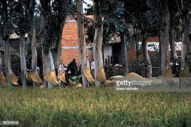 Surroundings of Kunming . Mat in straw drying at trees's feet in a village on the road of Shilin. October 1983.