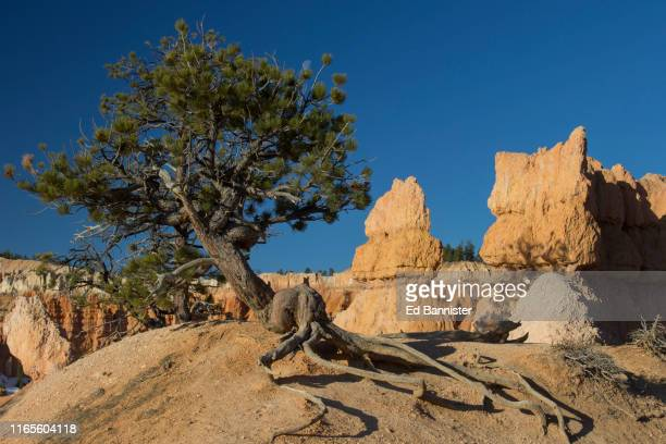 survivor tree exposed roots at bryce canyon - resilience stock photos and pictures