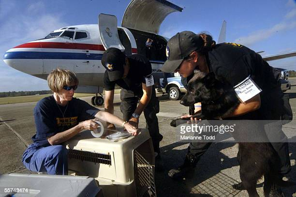 Susie Maldonado with the United States Humane Society prepares to place a black Labrador into a cage for flight transport to St Louis Missouri...