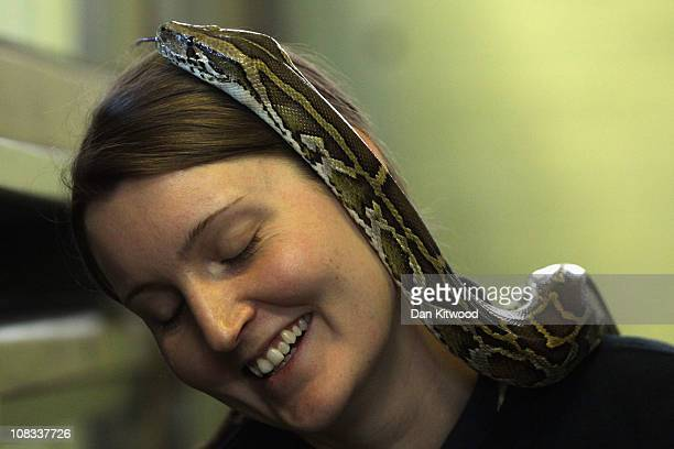 Susie Perry handles a Burmese Python at Heathrow Airport's Animal Reception Centre on January 25 2011 in London England Many animals pass through the...