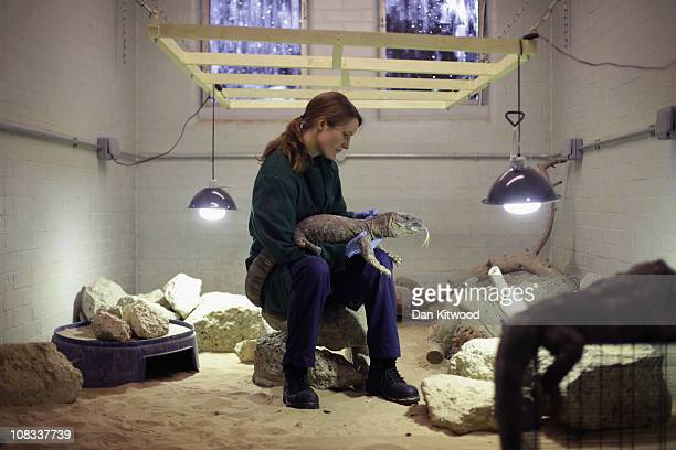 Susie Perry holds a Monitor Lizard at Heathrow Airport's Animal Reception Centre on January 25 2011 in London England Many animals pass through the...