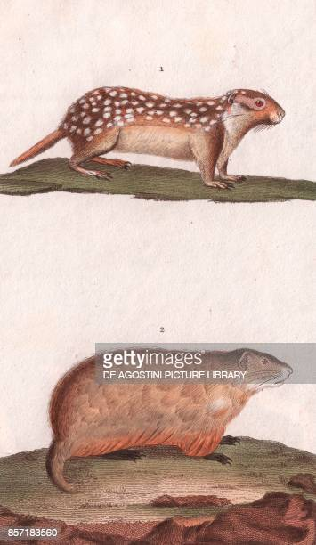 1 Suslik 2 Marmots colour copper engraving retouched in watercolour 9x15 cm from Dizionario delle scienze naturali compilato da vari professori del...