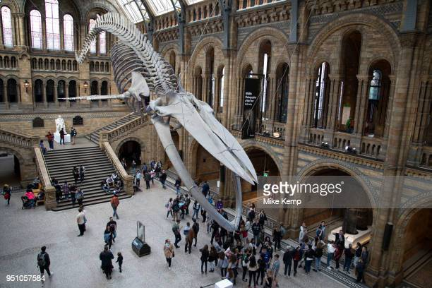 Suspended skeleton of a Blue Whale in Hintze Hall, the main entrance space at the Natural History Museum in London, England, United Kingdom. The...