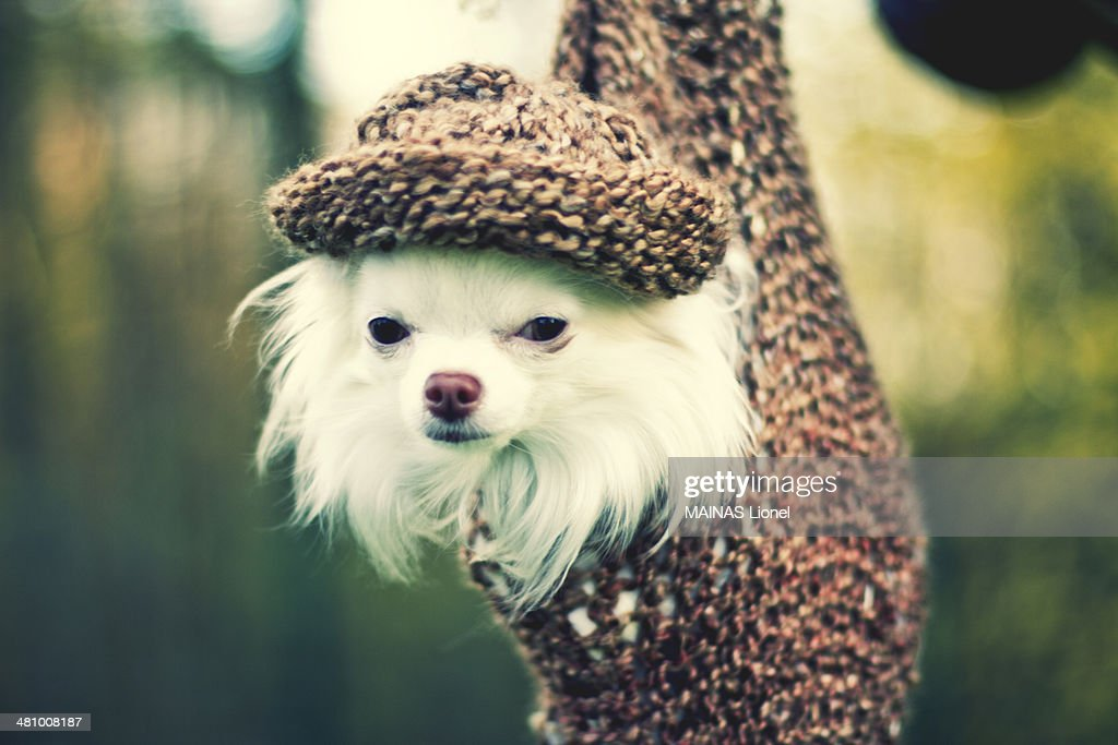 A little white dog suspending in a net with his same color hat