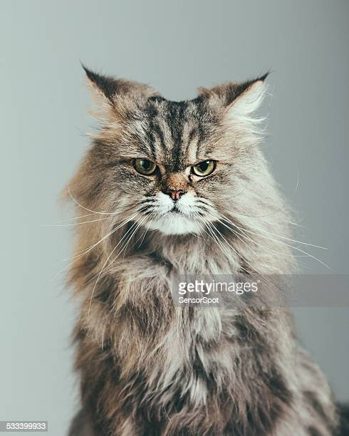 suspicious cat portrait - persian stock photos and pictures