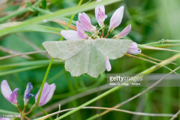 sussex emerald, thalera fimbrialis on crown vetch, securigera - geometridae stock photos and pictures