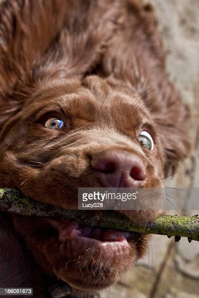 Sussex spaniel playing