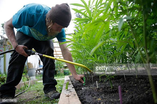 Sustainable cannabis famer Dylan Turner applies fertilizer to a crop of plants at Sunboldt Farms a small family farm run by Sunshine and Eric...