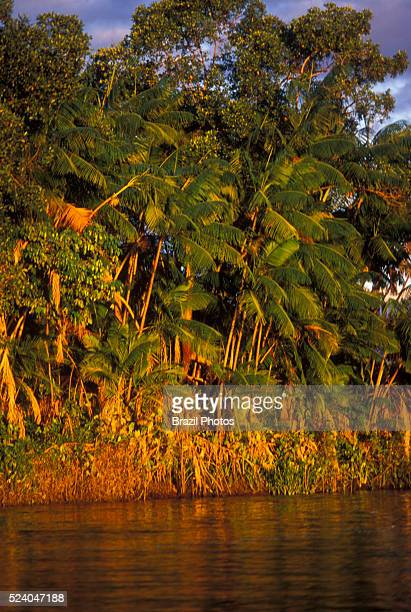 Sustainable development a��aizeiro or A��aizal Acai palm trees in the border or Rio Preguicas Maranhao state Brazil The acai palm is a species of...