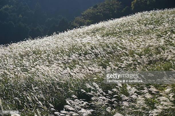 Susuki grass at Hakone