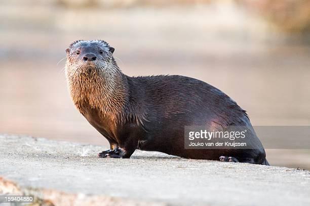 sutro baths river otter - lontra imagens e fotografias de stock
