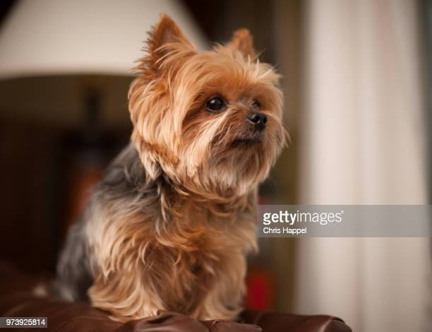 suzy snickers - yorkshire terrier stock pictures, royalty-free photos & images