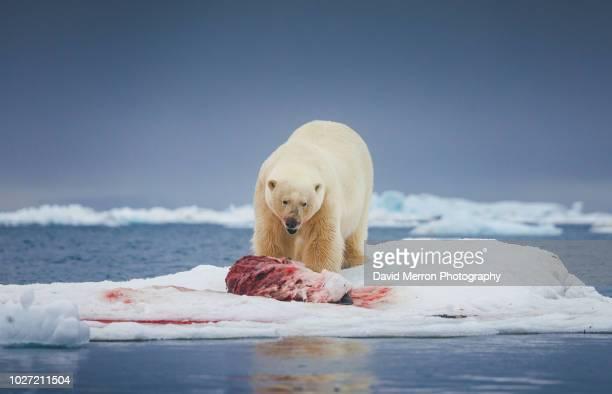 svalbard polar bear - maltrato animal fotografías e imágenes de stock