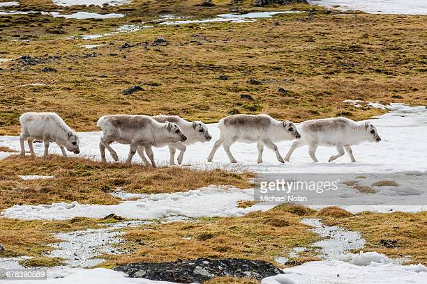Svalbard reindeer (Rangifer tarandus) grazing on the tundra in Varsolbukta, Bellsund, Spitsbergen, Arctic, Norway, Scandinavia, Europe