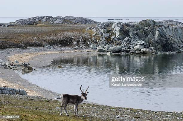 svalbard reindeer -rangifer tarandus platyrhynchus-, near hyttevika, spitsbergen island, svalbard archipelago, svalbard and jan mayen, norway - スヴァールバル諸島 ストックフォトと画像