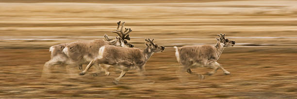 Svalbard Reindeer. Three animals, two with large antlers running across grassland.