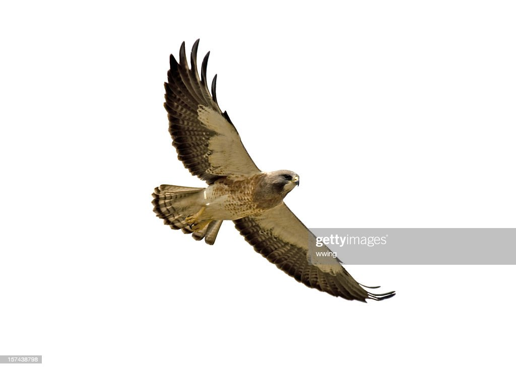 Swainson's Hawk With Clipping Path- Two : Stock Photo