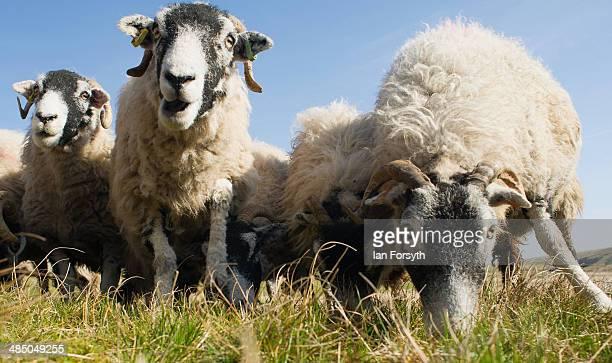 Swaledale sheep eat their feed at Ravenseat the farm of the Yorkshire Shepherdess Amanda Owen on April 15 2014 near Kirkby Stephen England Amanda...