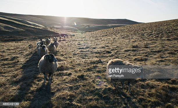 Swaledale sheep head over the frost covered moors to be fed on April 15 2014 near Kirkby Stephen England Amanda Owen runs a 2000 acre working hill...