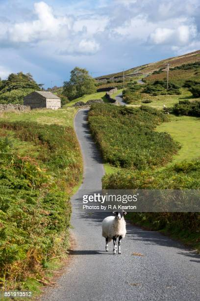 Swaledale sheep in the middle of the road, Yorkshire Dales, England